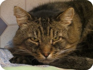 Domestic Shorthair Cat for adoption in Quilcene, Washington - Ratchet