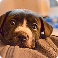 Adopt A Pet :: Sun - Danbury, CT
