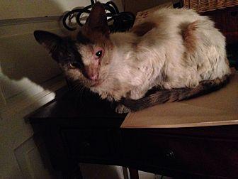 Domestic Shorthair Cat for adoption in East McKeesport, Pennsylvania - Piper