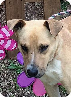 Labrador Retriever Mix Dog for adoption in Columbia, South Carolina - Ace
