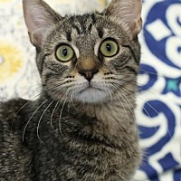 Adopt A Pet :: Mittens Female - Knoxville, TN