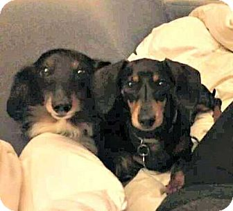 Dachshund Dog for adoption in Forest Ranch, California - Stanley and Ivy