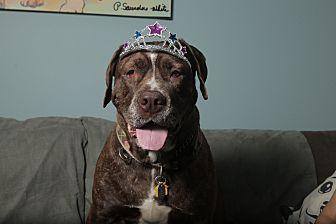 Cane Corso Dog for adoption in Smithtown, New York - Sammi