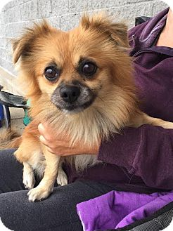 Pomeranian Mix Dog for adoption in Trenton, New Jersey - Bear