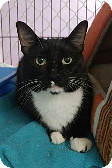 Domestic Shorthair Cat for adoption in Freeport, New York - Einstein