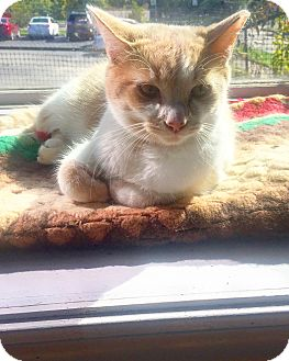Domestic Shorthair Cat for adoption in Indianapolis, Indiana - Creamsicle