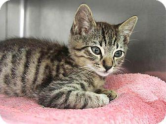 Domestic Shorthair Kitten for adoption in Hawthorne, California - Galaxy