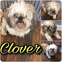 Shih Tzu Mix Dog for adoption in Colmar, Pennsylvania - Turtle (formerly Clover)