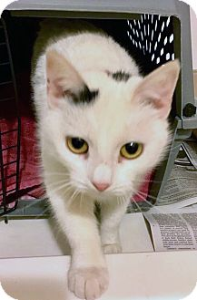 Domestic Shorthair Cat for adoption in Toms River, New Jersey - Rosie