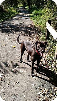 Labrador Retriever/German Shepherd Dog Mix Dog for adoption in Naperville, Illinois - Kermit