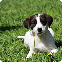 Adopt A Pet :: Domino - Groton, MA