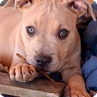 Adopt A Pet :: Willow - tucson, AZ