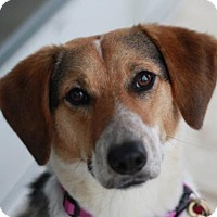 Adopt A Pet :: Anniebelle - Brattleboro, VT