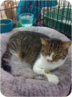 Domestic Shorthair Cat for adoption in Chesapeake, Virginia - Carla