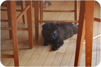 Australian Shepherd Mix Puppy for adoption in Hainesville, Illinois - Cubby Bear