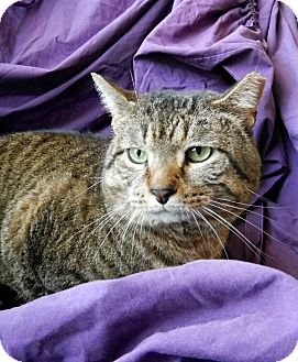 Domestic Shorthair Cat for adoption in Troy, Michigan - Skittles