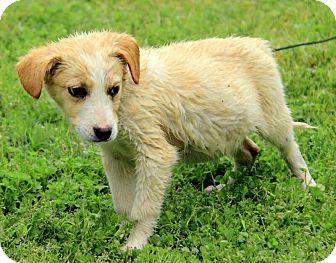 Border Collie/Australian Shepherd Mix Puppy for adoption in Staunton, Virginia - Hogan