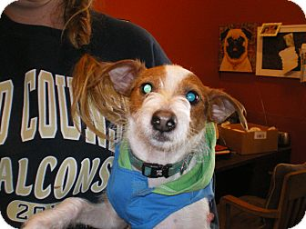 Jack Russell Terrier/Rat Terrier Mix Dog for adoption in Apex, North Carolina - Rocky