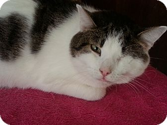 Domestic Shorthair Cat for adoption in Statesville, North Carolina - Sammy