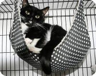 Domestic Shorthair Cat for adoption in Medford, New Jersey - Jazz Hands/Jail Bird