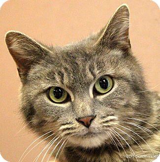 Domestic Shorthair Cat for adoption in Bedford, Virginia - Denise
