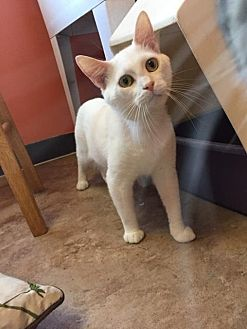 Domestic Shorthair Cat for adoption in Johnson City, Tennessee - Lunar