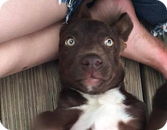 Labrador Retriever/Australian Kelpie Mix Puppy for adoption in Cameron, North Carolina - Twixie