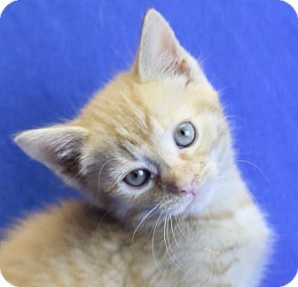 Domestic Shorthair Kitten for adoption in Winston-Salem, North Carolina - Apollo