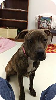 Pit Bull Terrier/Mastiff Mix Dog for adoption in Mt. Gilead, Ohio - Mercedes