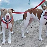 American Pit Bull Terrier Dog for adoption in tucson, Arizona - Bino & Ernie