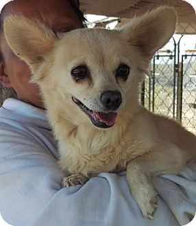 Chihuahua Mix Dog for adoption in Las Vegas, Nevada - Maddie