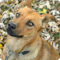 Shiba Inu/Chow Chow Mix Dog for adoption in Springfield, Missouri - Copper