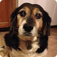 Beagle/Spaniel (Unknown Type) Mix Dog for adoption in Phoenix, Arizona - AJ