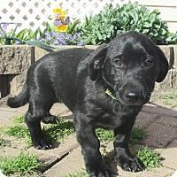 Adopt A Pet :: Ivar - West Chicago, IL