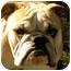 Photo 1 - English Bulldog Dog for adoption in Gilbert, Arizona - Uno*adoption pending!*