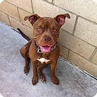 Pit Bull Terrier/Mastiff Mix Dog for adoption in Los Angeles, California - CINNAMON - COURTESY