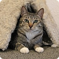 Domestic Shorthair Cat for adoption in Los Angeles, California - Sylvia