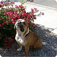 Adopt A Pet :: Butler*adoption pending* - Gilbert, AZ