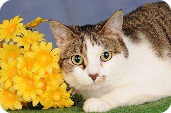 Domestic Shorthair Cat for adoption in mishawaka, Indiana - Birdie