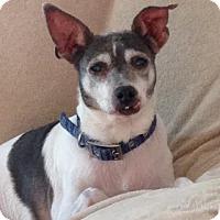 Rat Terrier Dog for adoption in Phoenix, Arizona - HARLEY