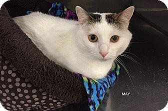 Domestic Shorthair Cat for adoption in Hibbing, Minnesota - MAY