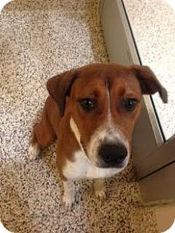 Beagle/Terrier (Unknown Type, Medium) Mix Dog for adoption in Aiken, South Carolina - Dakota