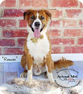 Golden Retriever/St. Bernard Mix Dog for adoption in Lubbock, Texas - ROSCOE