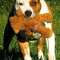 Pit Bull Terrier Mix Dog for adoption in West Babylon, New York - Adam
