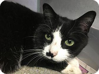 Domestic Shorthair Cat for adoption in Manteo, North Carolina - Kiki