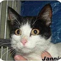Domestic Shorthair Cat for adoption in Hawk Springs, Wyoming - jannis