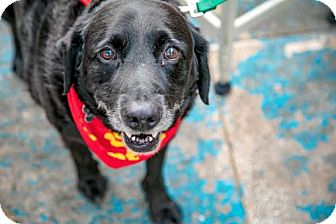 Labrador Retriever Mix Dog for adoption in Washington, D.C. - Dude