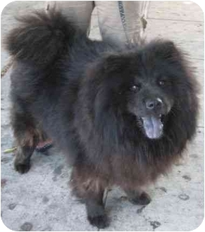 Chow Chow Dog for adoption in Riverside, California - Bear