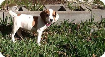 Beagle Puppy for adoption in Houston, Texas - Lalo