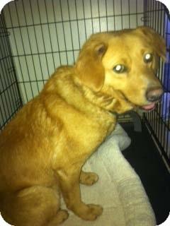 Golden Retriever Mix Dog for adoption in Hazard, Kentucky - Scotch~Prison Obedience T